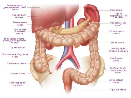 Здоровый кишечник