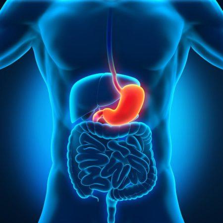 Расположение желудка
