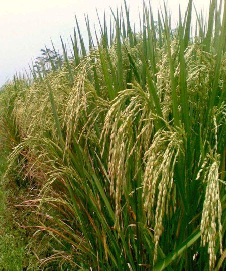 Рис в природе