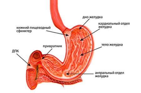 Анатомическое строение желудка