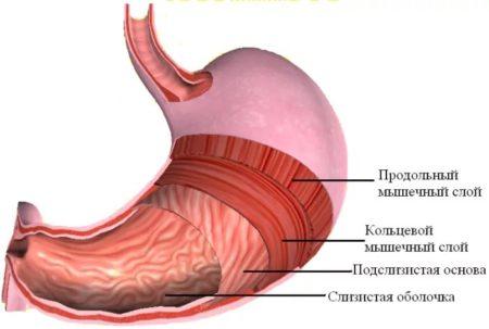 Мышечные слои
