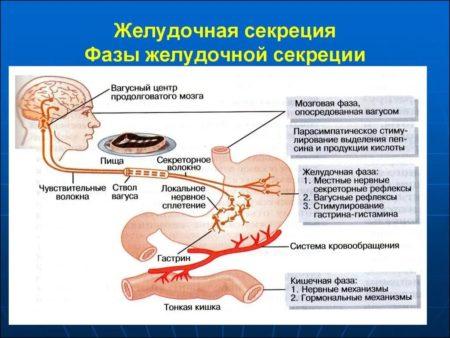 Фазы секреторной активности желудка