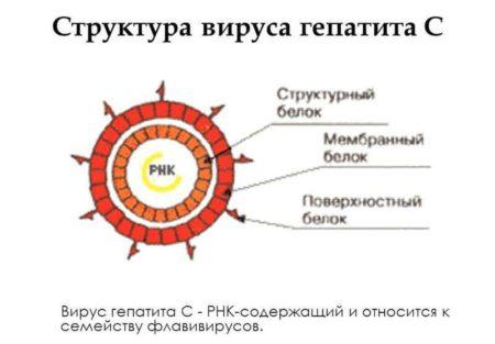Структура вируса